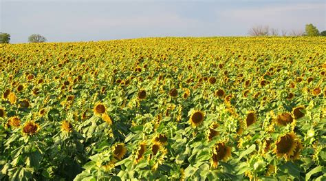 sunflower field in kansas sunflower field ted duboise grinter s sunflower farm lawrence kansas