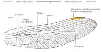 the architecture of the dragonfly wing in london uk by maria