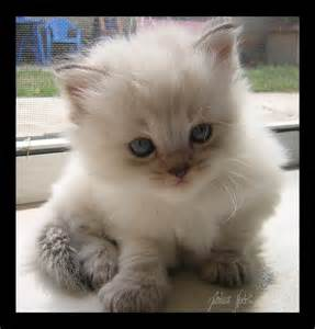 ragdoll kitten these nuggets are hypoallergenic and don