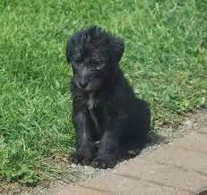 deerhound puppies scottish deerhound puppies hound dogs