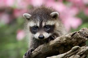 In spring raccoons and other wildlife use attics and crawl spaces as