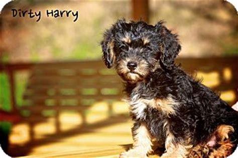 shih tzu puppies albany ny harry adopted puppy albany ny miniature schnauzer shih tzu mix