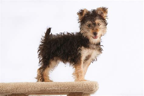 yorkie poo cost price how much does a yorkie poo cost howmuchisit org
