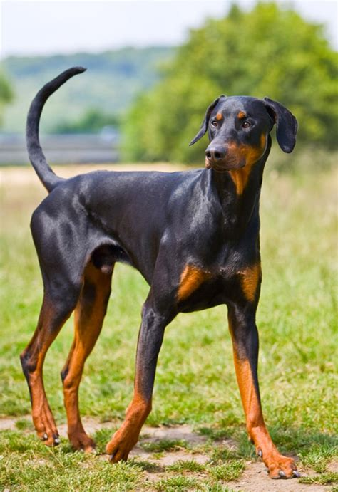 cropped rottweiler ears doberman pinscher with uncropped ears and www