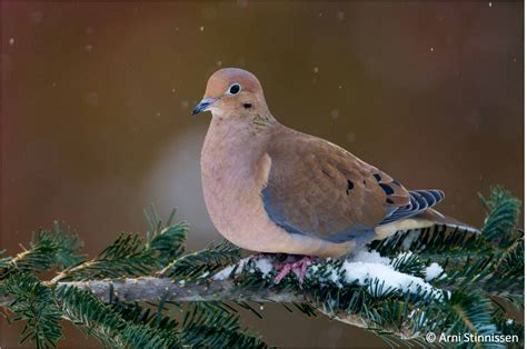 mourning doves our year round visitors the couchiching