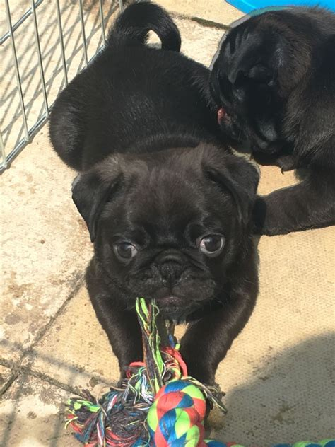 pedigree pugs for sale uk pedigree pugs for sale ready now sheffield south pets4homes