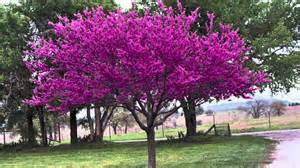 redbud trees for sale youtube