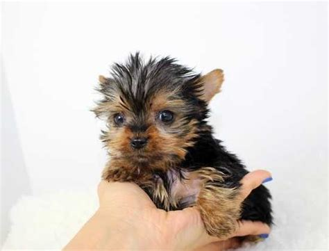 what does a teacup yorkie look like teacup yorkie puppies hledat googlem dogs yorkie puppys and teacup