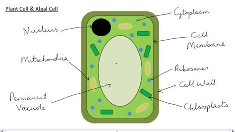 animal plant cells gcse science biology