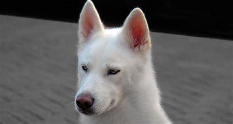 alaskan husky puppies interesting facts about alaskan huskies