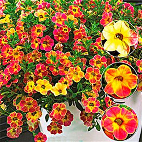 Winterharte Palmen Kaufen 121 by Sommerblumen Kaufen Bestellen Bei Baldur Garten