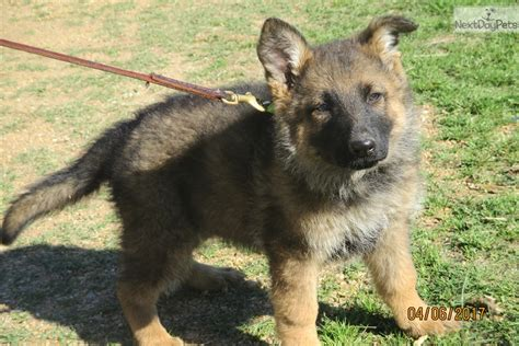 german shepherd puppies okc german shepherd puppy for sale near oklahoma city oklahoma 300c2f33 f061
