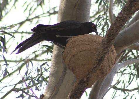 mud nesting bird species in australia