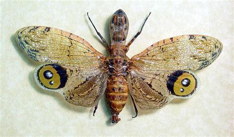 fulgora laternaria male peanut head bug real butterfly
