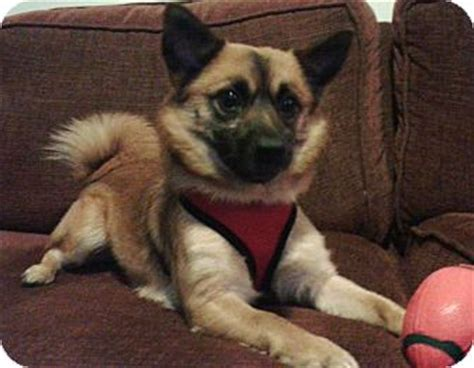pug akita mix adopted south amboy nj pug pomeranian mix