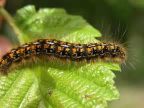 Garden Pest Identifier - the word thoughts blog caterpillar