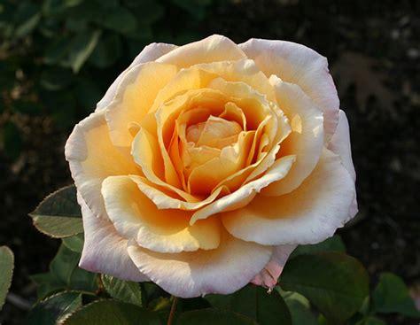 fiore rosa rosa a fiore grande cura dei fiori delle piante d
