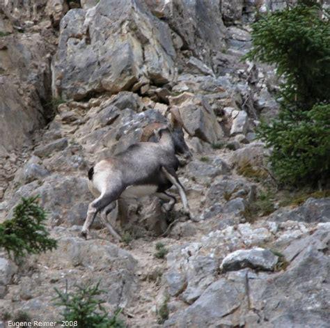 mountain ram mountain goat ram