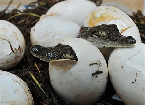 Animal Egg 40 amazing pictures of baby animals hatching eggs