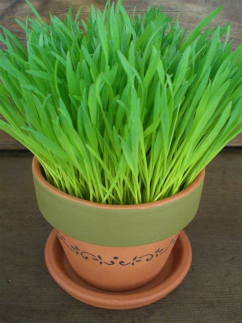 spring   pot wheat grass garden kit  bunnie pet items