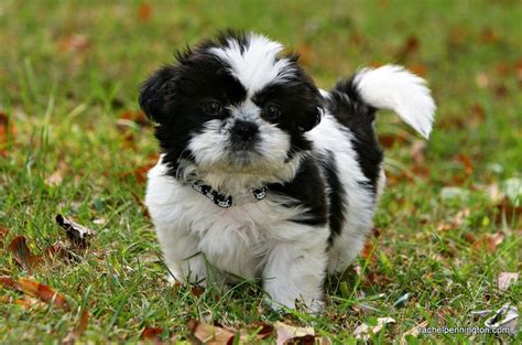 japanese chin and shih tzu japanese chin x shih tzu pup pet