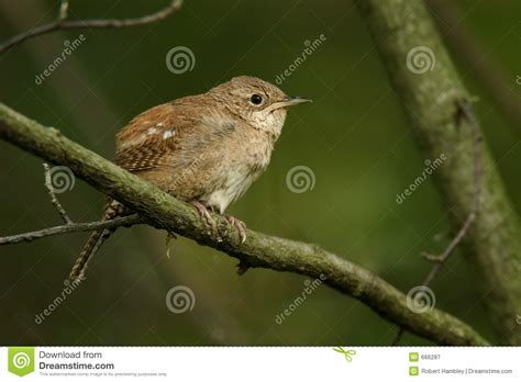 house wren royalty free stock photography image 666287