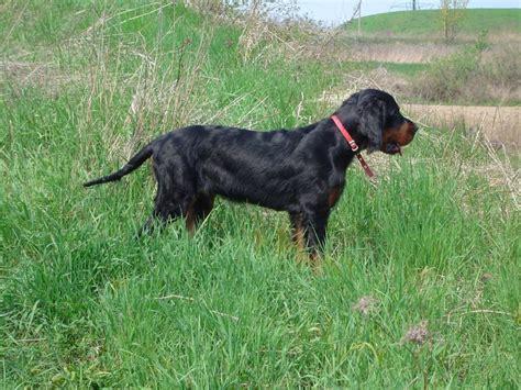 setter dog breed crossword clue dog gordon setter information for kids