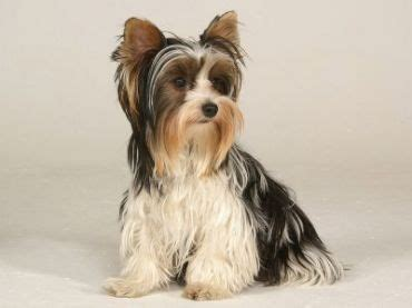 havanese size comparison breeds best dogs and breeds pictures on