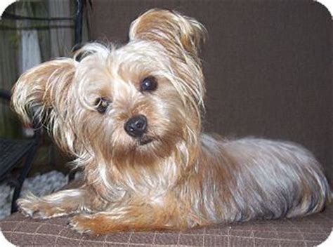 maltese yorkie mix puppies adoption adopted cape coral fl maltese yorkie terrier mix