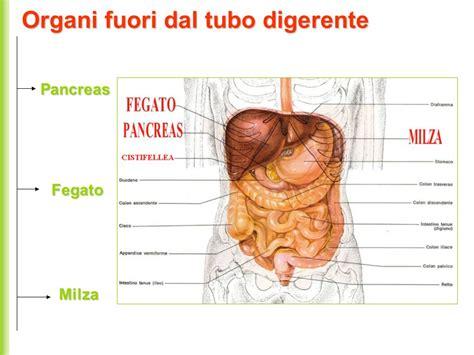 corpo umano organi interni milza apparato digerente serve ad ingerire e a trasformare i