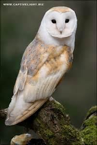 barn oel barn owl in the forest