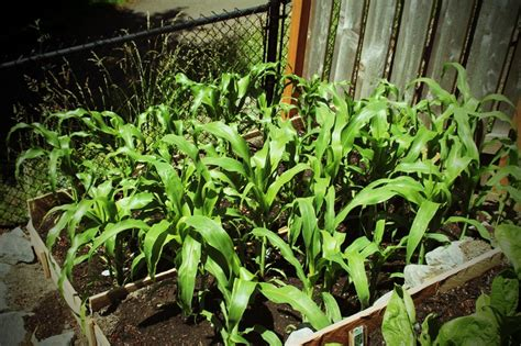 Growing Corn In Raised Beds by 23 Best Images About Gardening Corn On