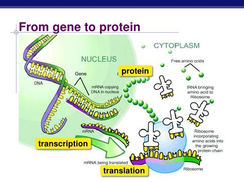protein synthesis honors protein synthesis