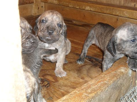 plott hound puppies plott hound puppies for sale breeds picture