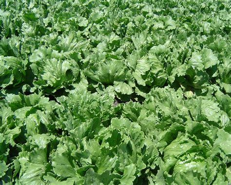 coltivare insalata in vaso come coltivare l insalata idee green