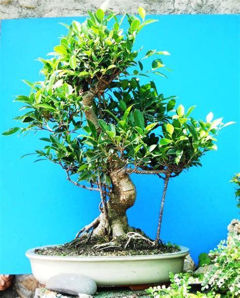 bonsai interno centro bonsai di valter frediani a sanremo provincia di