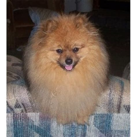 pomeranian rescue alabama special pomeranians pomeranian breeder in waverly alabama listing id 13575