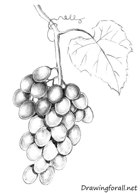 drawn grapes grape leaf pencil and in color drawn grapes drawn grape pencil and in color drawn grape