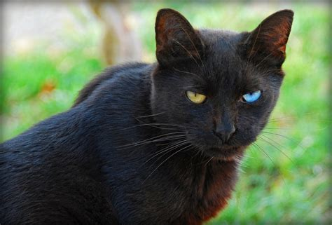 by cat eyed black cat eyed cats