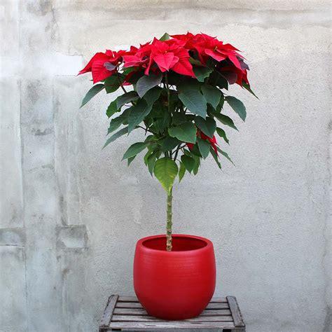 193 rbol de flor de pascua rojo florister 237 a bourguignon