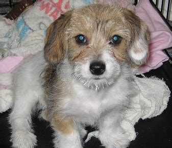 fox terrier and shih tzu mix shih tzu mix breeds breeds picture