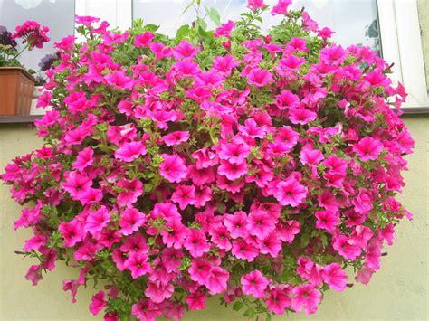 surfinie fiori surfinie