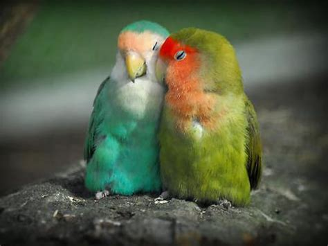 the yellow collared lovebird agapornis personatus also