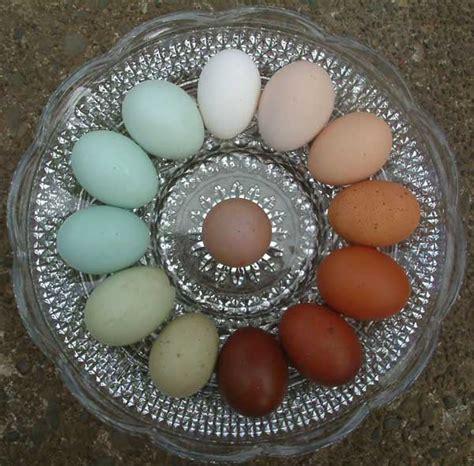 chicken egg colors araucana ameraucana or easter egger olive egger rainbow