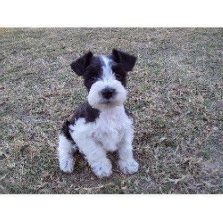 schnauzer puppies for sale in alabama s pered pooches miniature schnauzer breeder in troy alabama listing id 17317