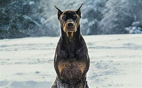 how to doberman to be a guard doberman and protection