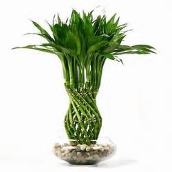 Chinese Wealth Vase Home Garden Tips How To Take Care Of Bamboo Plants Indoors