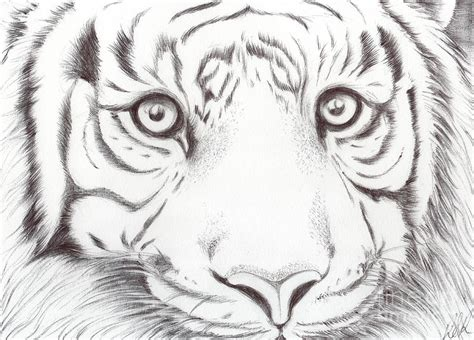 Animal Kingdom Series Wild Cat Drawing By Bobbie S Richardson Animal Pictures For To Draw