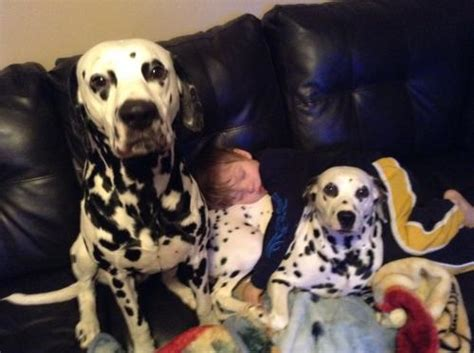 dalmatian puppies for sale in wv all pup pies on sale for sale puppies for sale