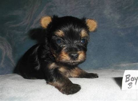 teacup yorkie poo puppies sale yorkie poo puppies health guaranteed for sale in clair missouri breeds picture
